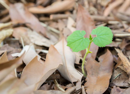 dried leaf: New Leaf Sprout Started In Dried Leaf Eco Concept Stock Photo