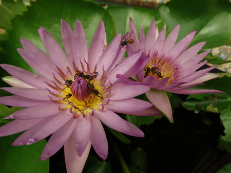 bee swarm: Lotus blossom with a bee swarm