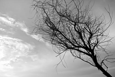 arboles secos: �rboles muertos en blanco y negro.