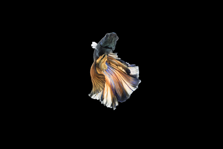 fish tail: Beautiful movements of the Siamese fighting fish.