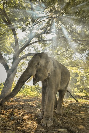 Thai elephants stand under the trees.