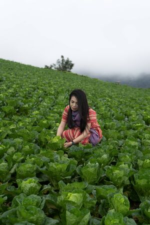 Asian female farmers are harvesting cabbage Imagens