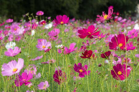 cosmos flower Imagens - 149454693