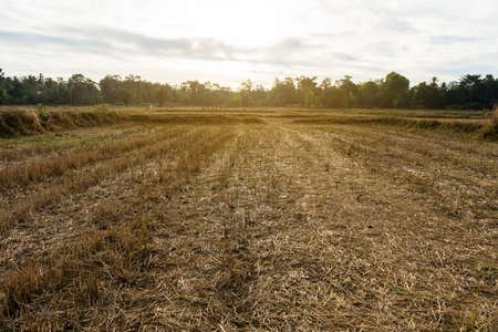 Fields after harvest in evening. Dry weather