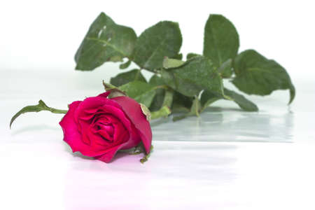 Red roses to those we love and we want them to love us too. Stock Photo - 8899653