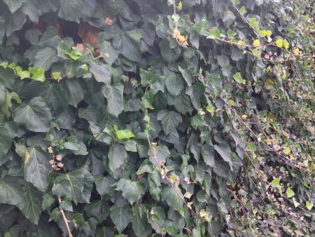 ivy wall: Ivy covered wall