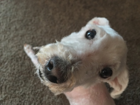 Up close on a white shaved dog