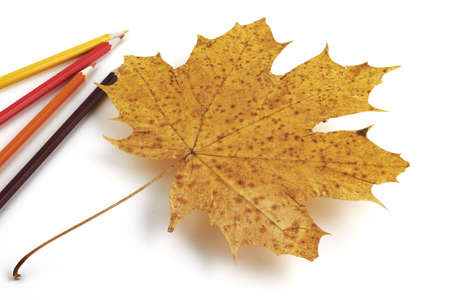 old pencil:  maple leaf with  pencils isolated on white