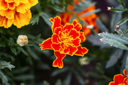 tagetes: orange tagetes
