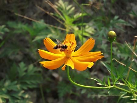 3636;  3635;bee Sucking nectar on flower