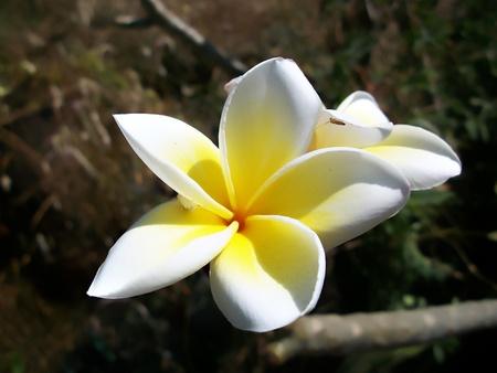 Frangipani flowers Stock Photo - 13043110