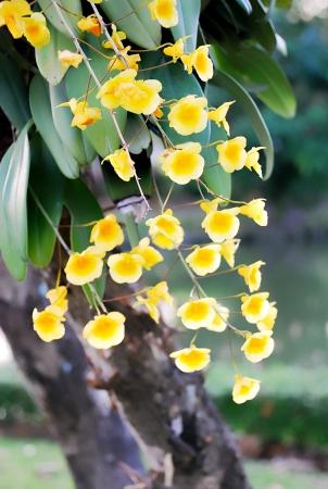 clinging: Dendrobium lindleyi flower in suanluangrama 9