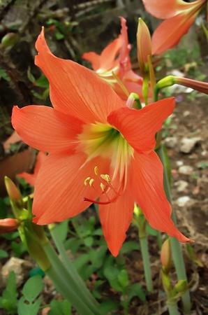 hippeastrum flower: orange hippeastrum flower