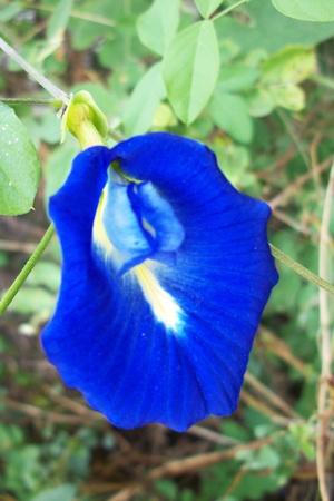 Flores del guisante Foto de archivo - 13088200