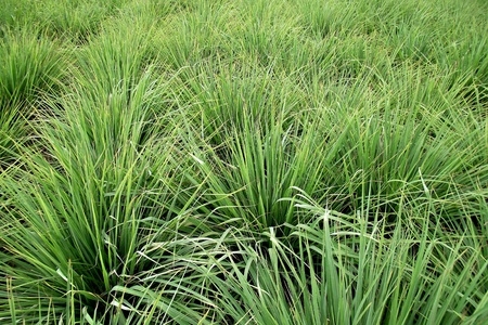Lemon grass plant in thailand photo