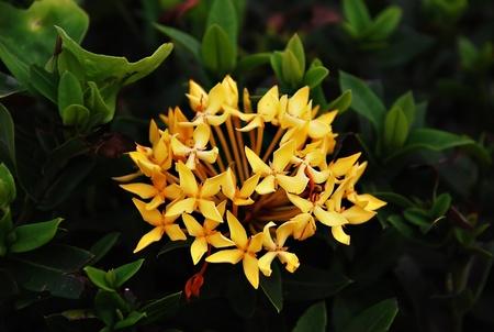 stamin: Yellow Ixora Flowers at Full Bloom Stock Photo
