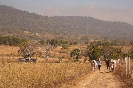 Cattle in farm Stock Photo - 13159083
