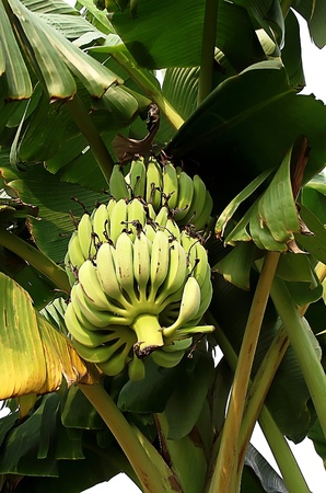 Green bananas on a tree photo