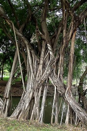 banyan: Majestic �rbol de higuera
