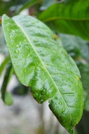 stamin: leaf Ixora Flowers