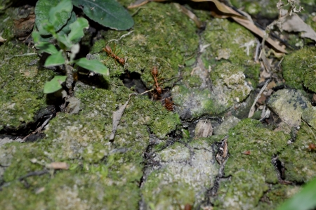 red ant: hormiga roja en el jard�n Pranakorn