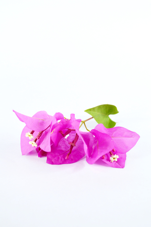 bougainvillier photo