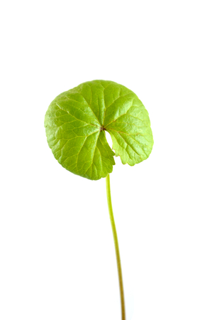 The scientific name is Centella asiatica Urban Known as gotu kola