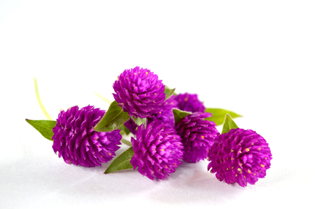 Globe amaranth  photo