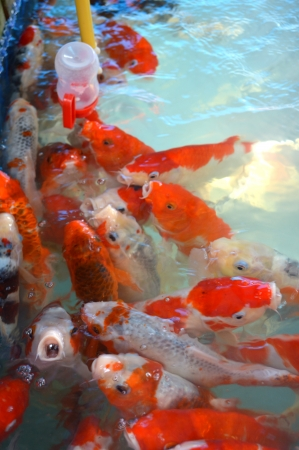 Colorful Koi or carp in talad 4 pak, pattaya, thailand
