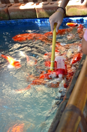 Colorful Koi or carp in talad 4 pak, pattaya, thailand photo