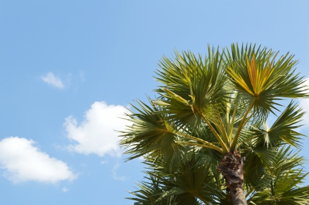 Oil palms with cloudy blue sky photo