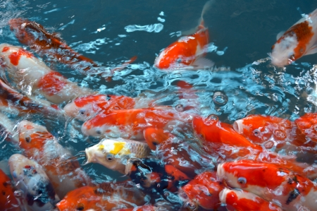 Colorful Koi or carp in water photo