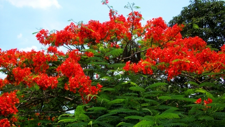 Beautiful royal poinciana tree in thailand photo
