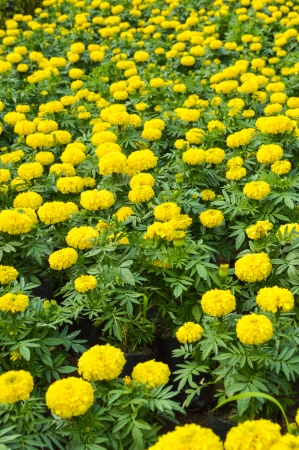 marigold flower field Zdjęcie Seryjne