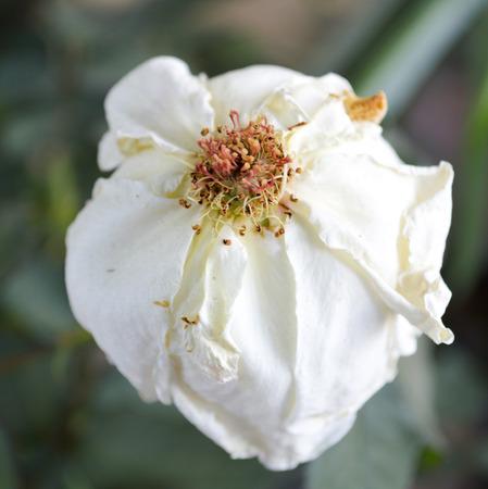 verdorde White Rose