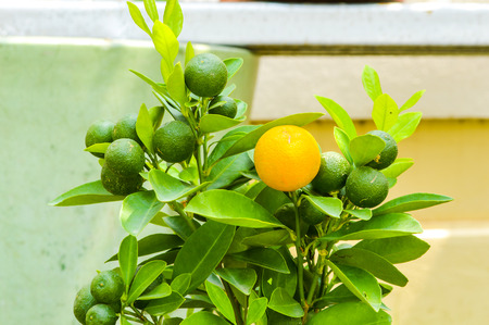 orange Mandarin tree photo