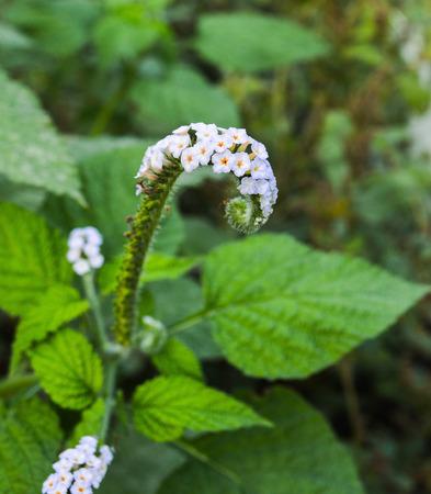 Heliotropium indicum Stockfoto