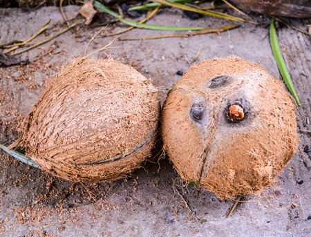 two brown coconut