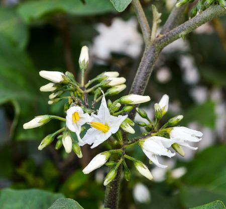 eggplant flowers Banque d'images