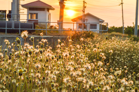 asteracea flowers in sunset photo