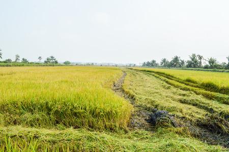 green fields in Thailand
