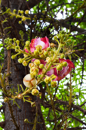 Cannonball Trees