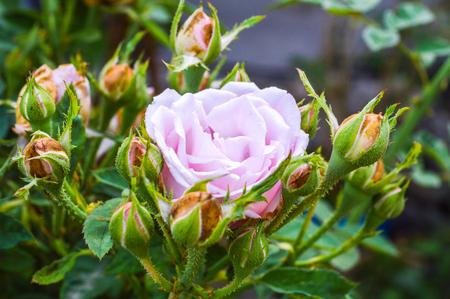 witte en roze roos
