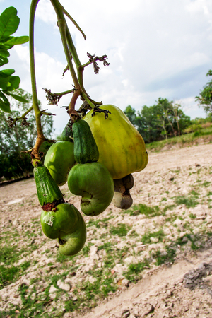 cashew tree: Cashew nuts growing on tree at Thailand