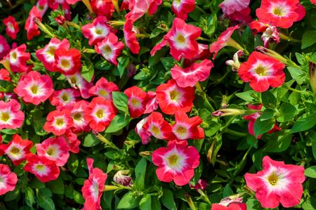 petunia hybrida flowers  스톡 콘텐츠