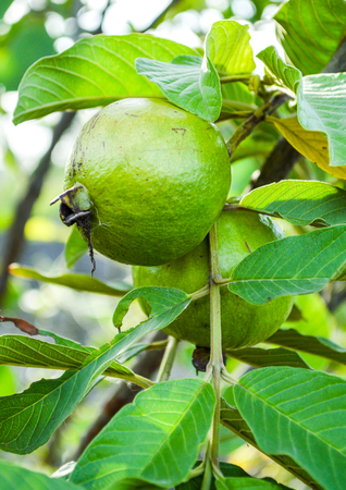 The Green Guava on Tree  photo
