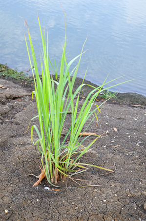 Lemon grass plant  photo