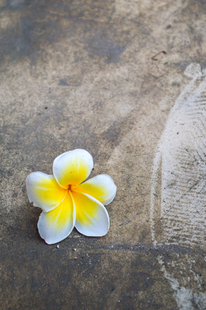 Frangipani flowers on cement floor Stock Photo - 29412289