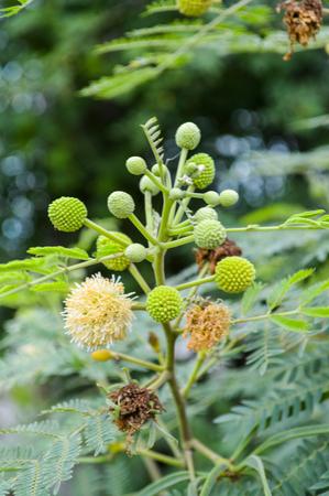 pubescent: acacia blooms  Stock Photo
