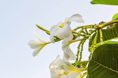 frangipani flowers 版權商用圖片